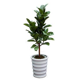 고무나무(1m내외)